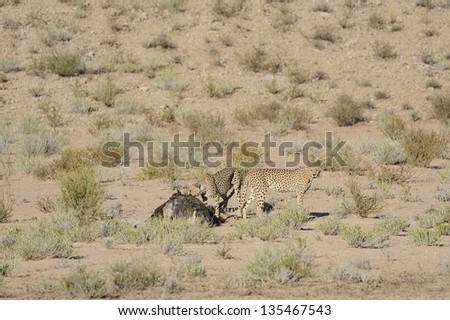 Cheetah (Acinonyx jubatus). Coalition of cheetahs with  Ostrich kill in the Kalahari desert. Kgalagadi Trans-frontier Park, South Africa - stock photo