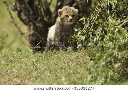 Cheetah, Acinonyx jubatus, cubs resting in shade, Lower Mara, Masai Mara Game Reserve, Kenya, Africa - stock photo