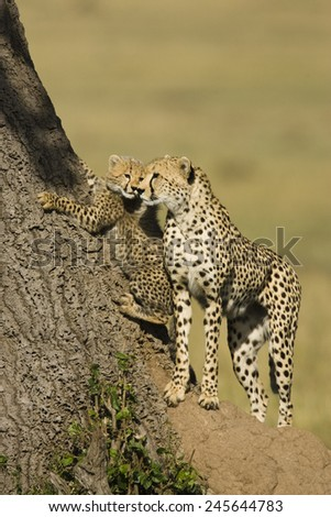 Cheetah, Acinonyx jubatus, mother & cub at tree, Masai Mara Game Reserve, Kenya, Africa - stock photo