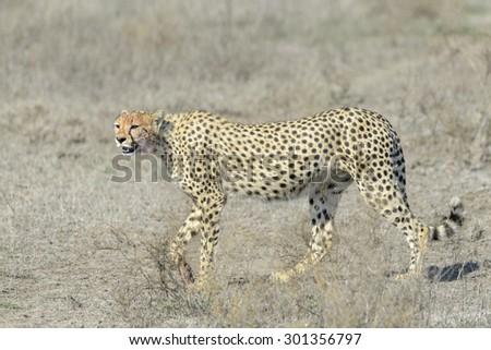 Cheetah (Acinonyx jubatus) walking on savanna, Serengeti national park, Tanzania. - stock photo