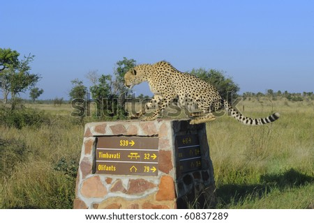 Cheetah (Acynonyx jubatus) male jumps onto a stone roadmarker  to check surrounding bush for possible prey. Timbavati region, kruger national Park, South Africa - stock photo