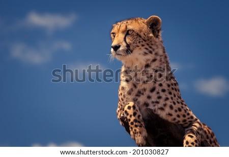 Cheetah against blue sky - stock photo