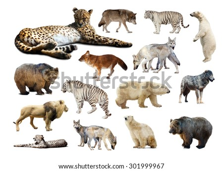 Cheetah and other predators. Isolated over white background  - stock photo