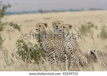 Cheetah brothers in the Masai Mara - stock photo