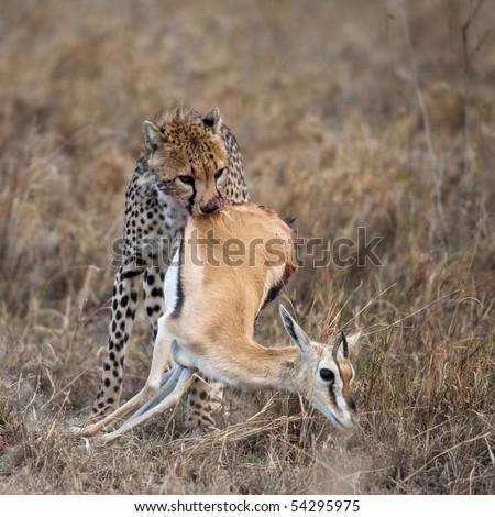 Cheetah carrying prey, Serengeti National Park, Tanzania, Africa - stock photo