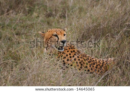 Cheetah Chilling Out - stock photo