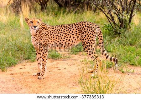 Cheetah close view at the Naankuse Wildlife Sanctuary, Namibia, Africa - stock photo