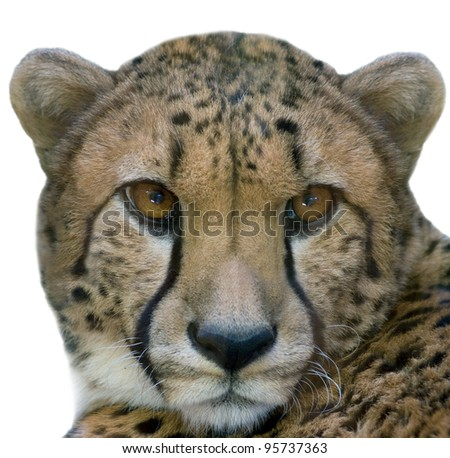 Cheetah closeup - isolated on white background - stock photo