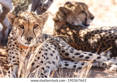 Cheetah Conservation at Sossusvlei in the Namib Desert, Namibia, Africa - stock photo