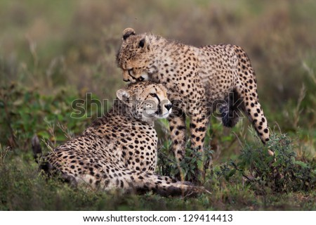 Cheetah cub and mother - stock photo
