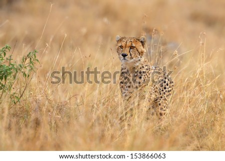 Cheetah cub focuses on a gazelle in Masai Mara, Kenya - stock photo