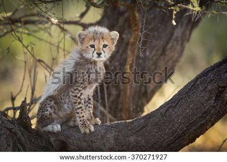 Cheetah cub in tree, Serengeti, Tanzania - stock photo