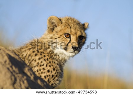 Cheetah cub peers behind ant hill - stock photo