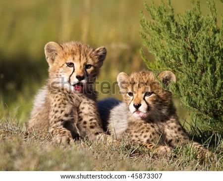 Cheetah cubs - stock photo