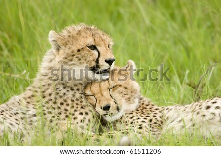 cheetah cubs huddled up together one sleeping while the other stays alert in Kenya's Masai Mara - stock photo