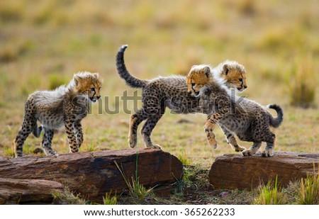 Cheetah cubs play with each other in the savannah. Kenya. Tanzania. Africa. National Park. Serengeti. Maasai Mara. An excellent illustration. - stock photo