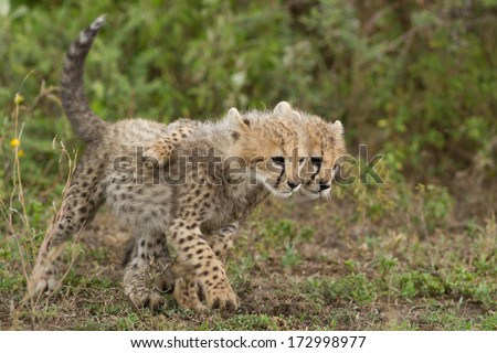 Cheetah Cubs playing, Ndutu, Tanzania - stock photo