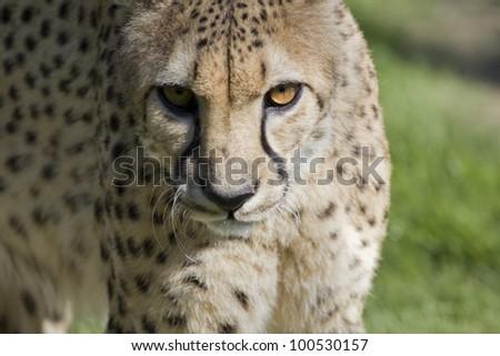 Cheetah Face - stock photo