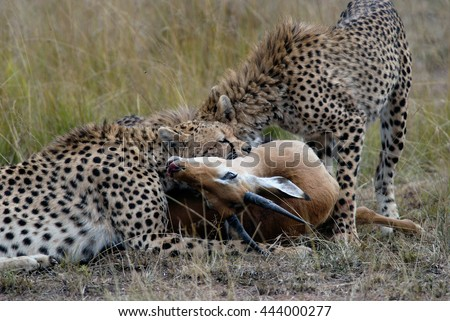 Cheetah family, catching and devouring a gazelle on the African savannah, Kenya - stock photo