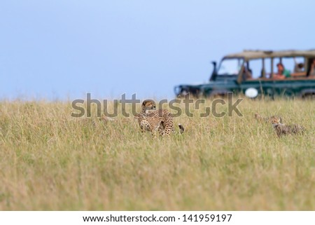 Cheetah family with safari car in the background, Masai Mara - stock photo
