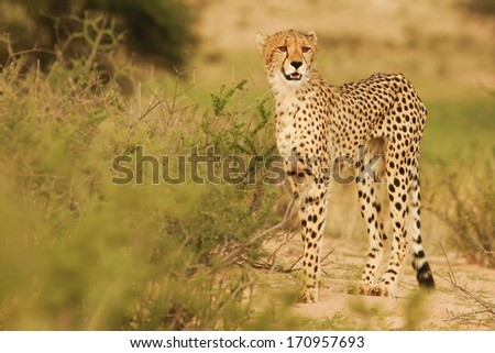 Cheetah-Gepard-South Africa - stock photo