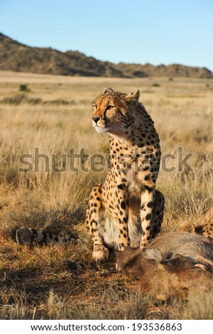 Cheetah guarding over its food - stock photo