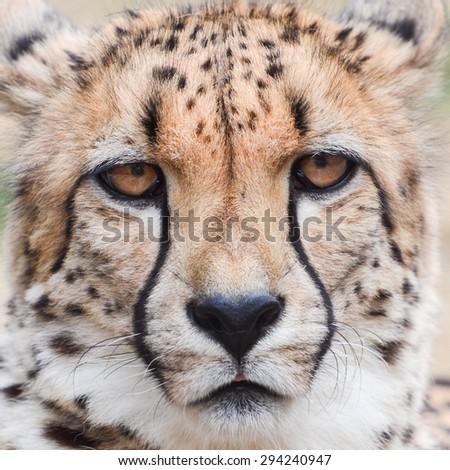 Cheetah headshot - stock photo