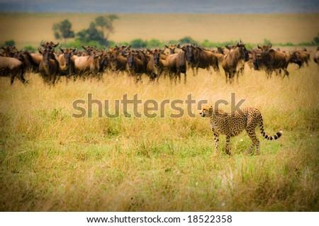 cheetah hunting, masai mara, kenya - stock photo