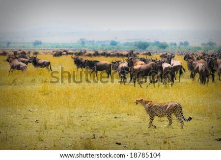 cheetah hunting, masai mara, kenya - stock photo