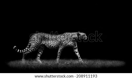 Cheetah in Black and White - stock photo
