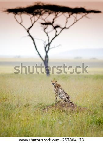 Cheetah in serengeti national park - stock photo