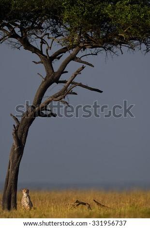 CHEETAH IN THE HABITAT !  Captured at Masai Mara - stock photo