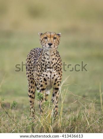Cheetah in the savanna. Close-up. Kenya. Tanzania. Africa. National Park. Serengeti. Maasai Mara. An excellent illustration. - stock photo