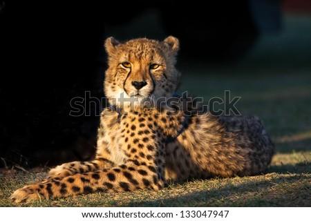 Cheetah in the sun - stock photo