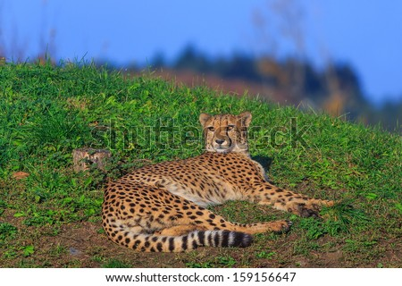 cheetah is resting - stock photo