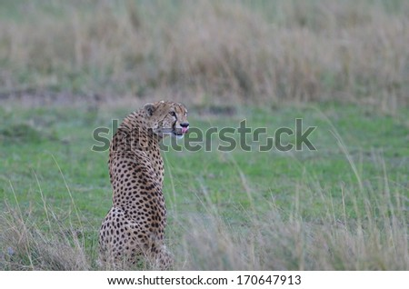 Cheetah looking back  - stock photo