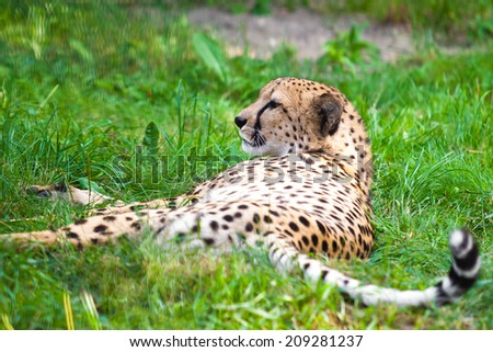 Cheetah lying down Stock Photos, Illustrations, and Vector Art