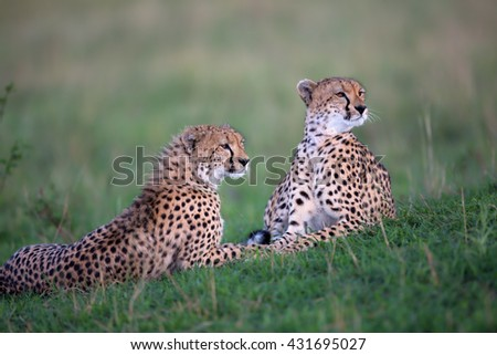 Cheetah Malaika and cub in Masai Mara, Kenya - stock photo