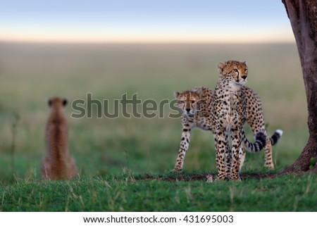 Cheetah Malaika and cubs looking for food in Masai Mara, Kenya - stock photo