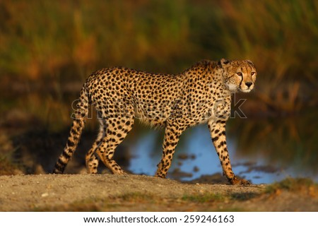 Cheetah male in the big marsh early in the morning at sunrise - stock photo