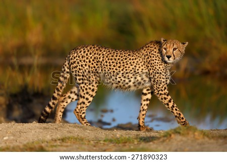 Cheetah male looking to his brother in the big marsh of Ndutu early in the morning at sunrise in Tanzania - stock photo