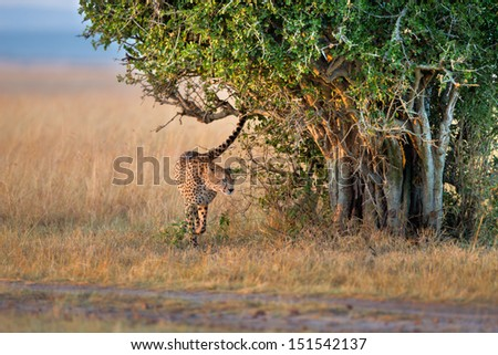 Cheetah male marking his territory early morning at sunrise in Masai Mara, Kenya - stock photo