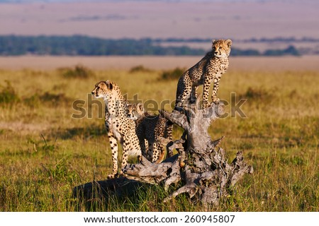 Cheetah mom and two cubs on an old root - stock photo
