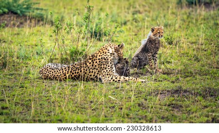 Cheetah mother (Acinonyx jubatus) with two cubs playing on savannah. Maasai Mara National Reserve, Kenya. - stock photo