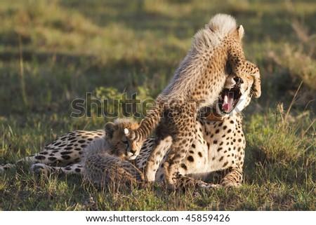 Cheetah mother and cub playfully interact - stock photo