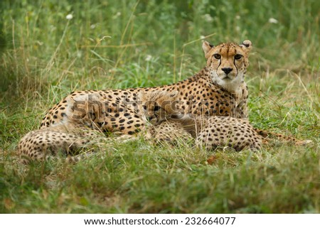 Cheetah mother and cubs portrait. Two seven weeks old Cheetah cubs lying and hugging each other. Gepard Cubs. Cheetah cubs huddled up together. ( Acinonyx jubatus ) - stock photo