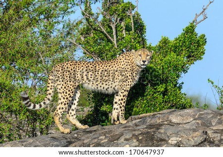 Cheetah on a rock - stock photo