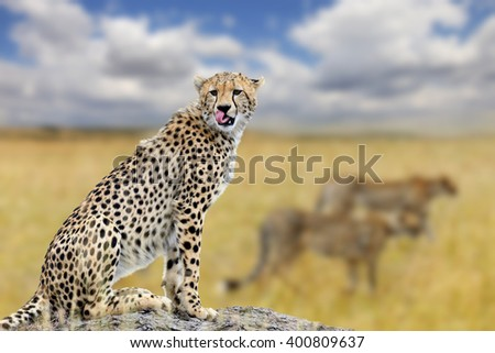 Cheetah on savannah in Africa, National park of Kenya - stock photo