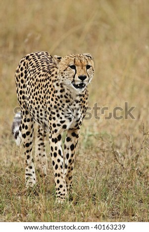 Cheetah on the hunt in the tall grasses of the Serengeti Plains in the Masai Mara Reserve in Kenya. - stock photo