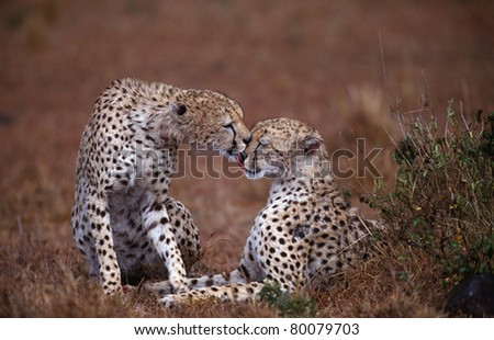 Cheetah Pair in Kenya; During misting rain, one cheetah licks the fur of its slightly injured brother.  Family members often hunt together and remain together. - stock photo